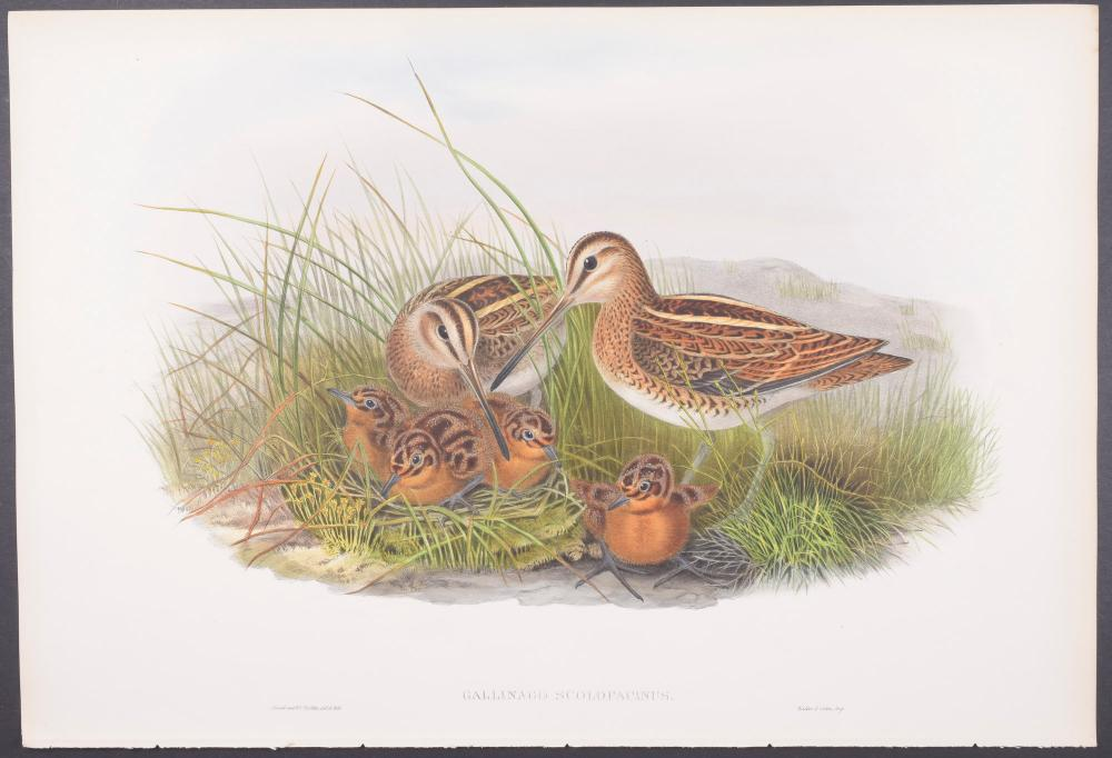 Lot 11162: Gould - Common Snipe