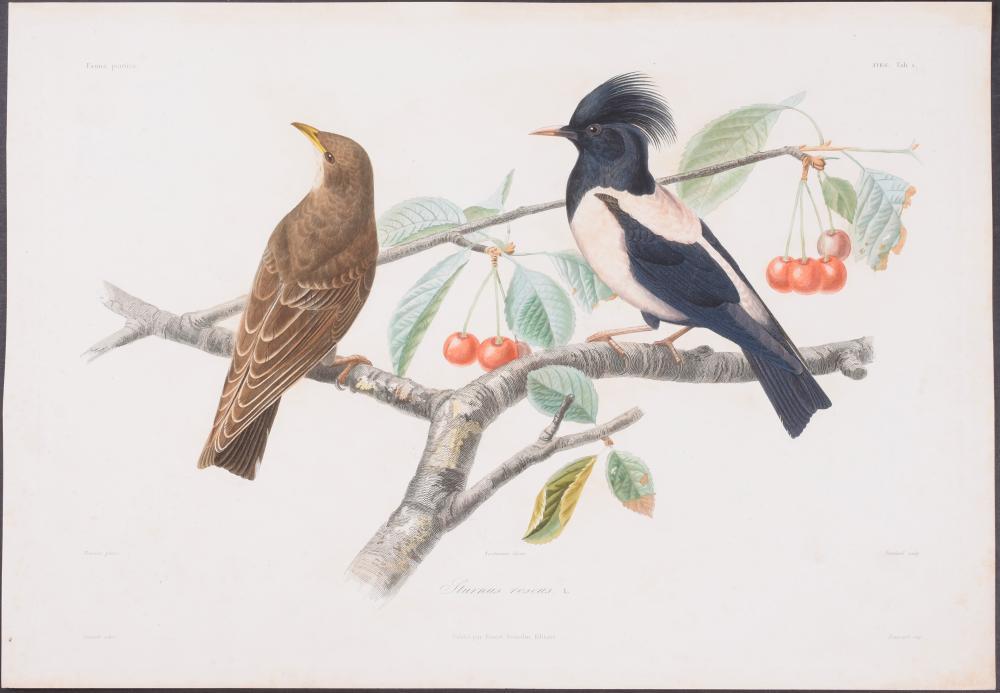 Lot 11145: Demidoff - Rosy Starling. 1