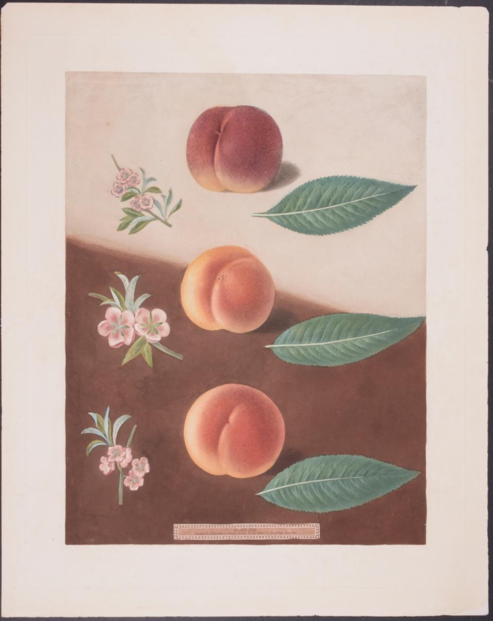 Lot 11157: Brookshaw - Peaches. 30
