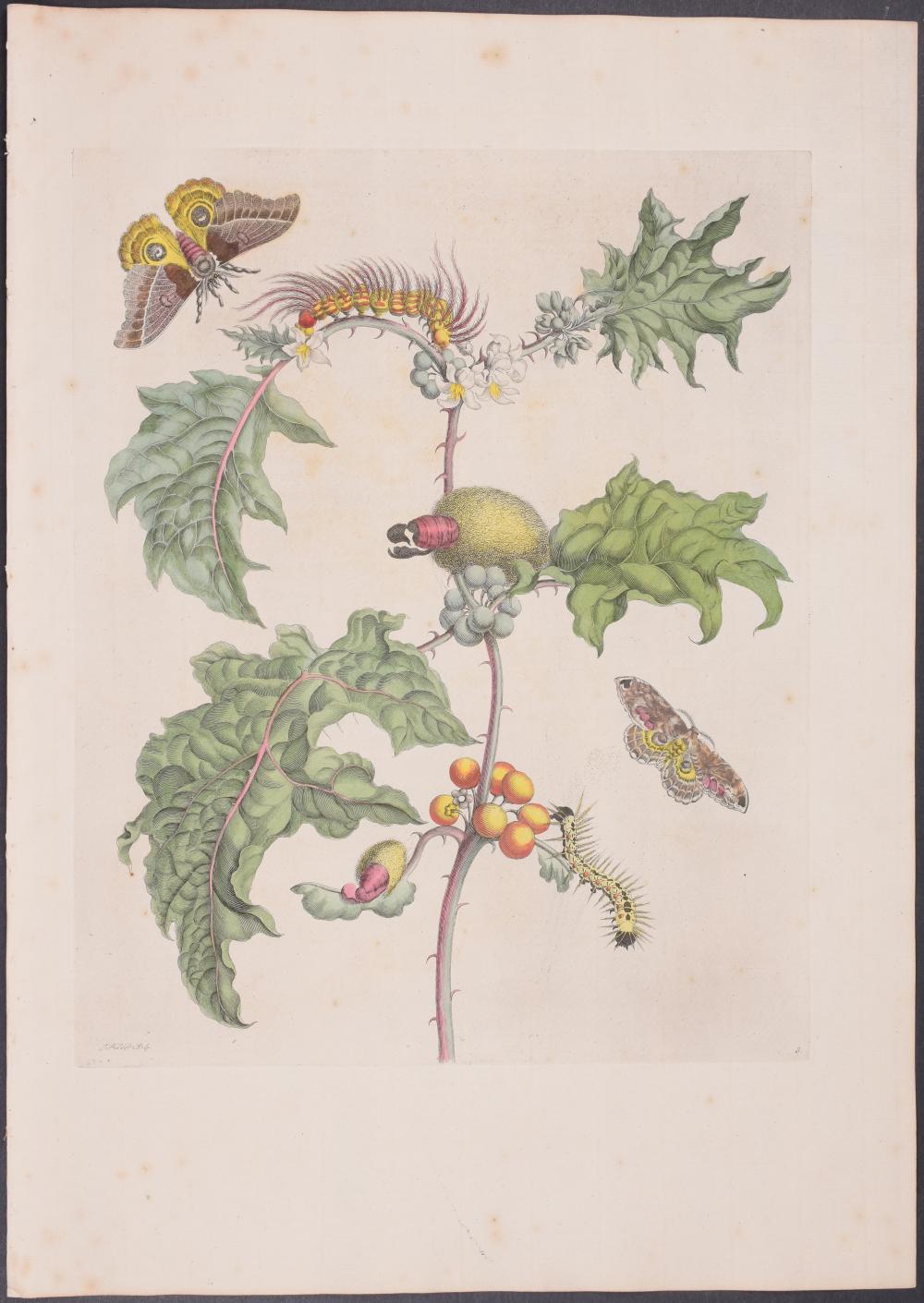 Lot 11184: Merian, Folio - Moth Metamorphosis. 6