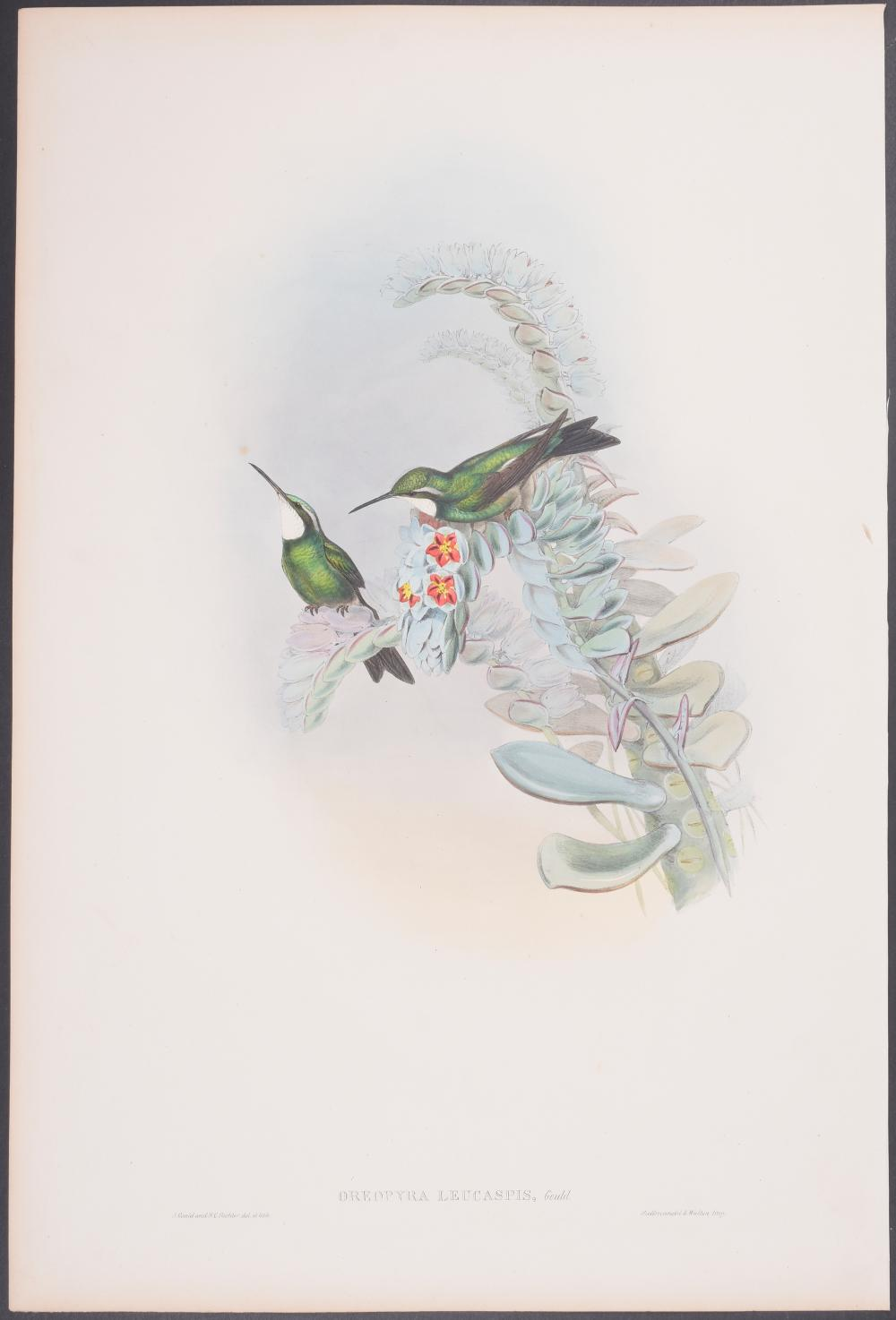 Lot 11170: Gould - White-throated Hummingbird; Oreoyra leucaspis