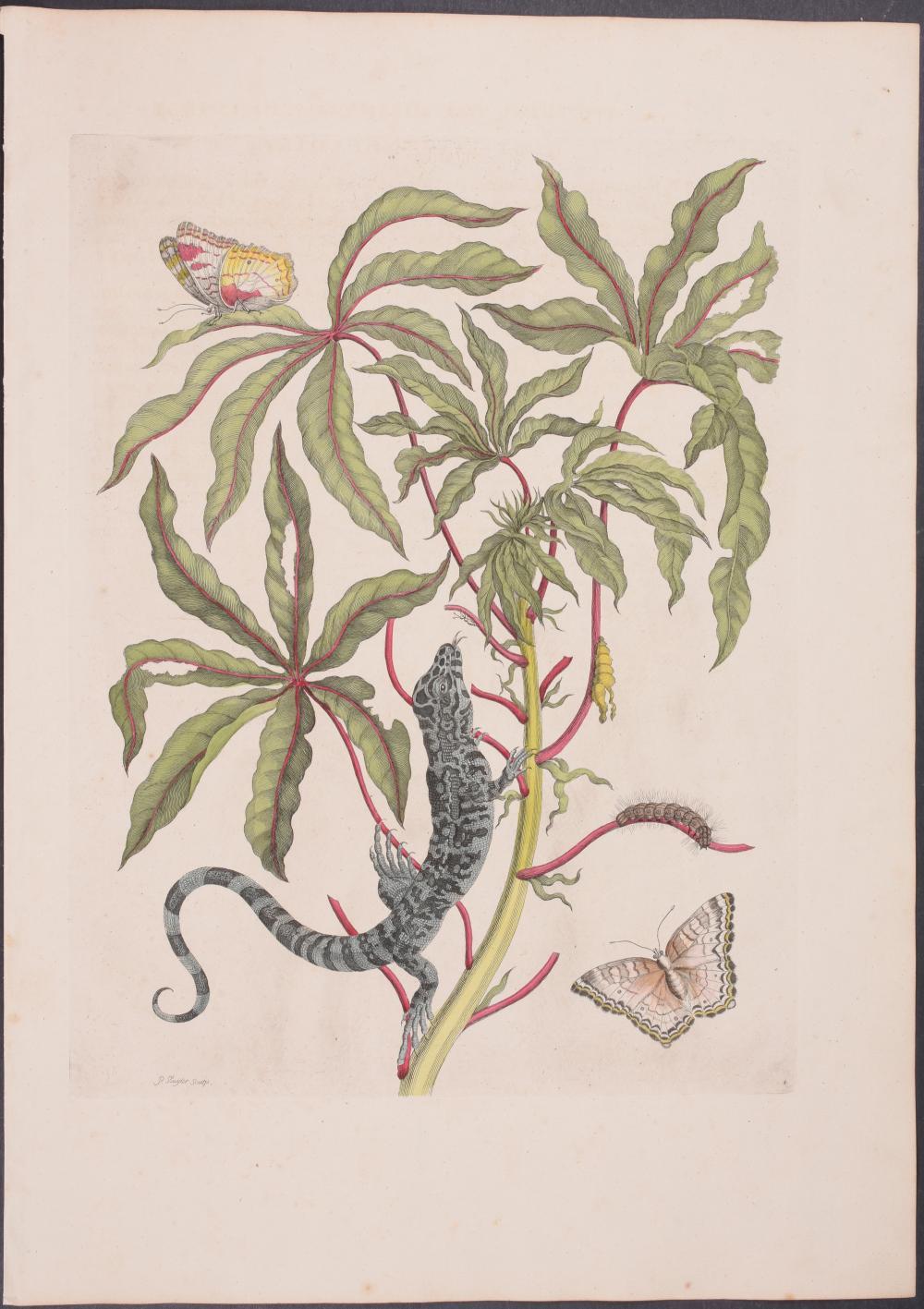 Lot 11185: Merian, Folio - Butterfly Metamorphosis & Lizard. 4