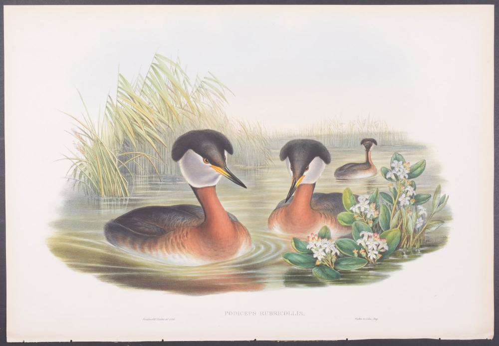 Lot 11166: Gould - Red-necked Grebe