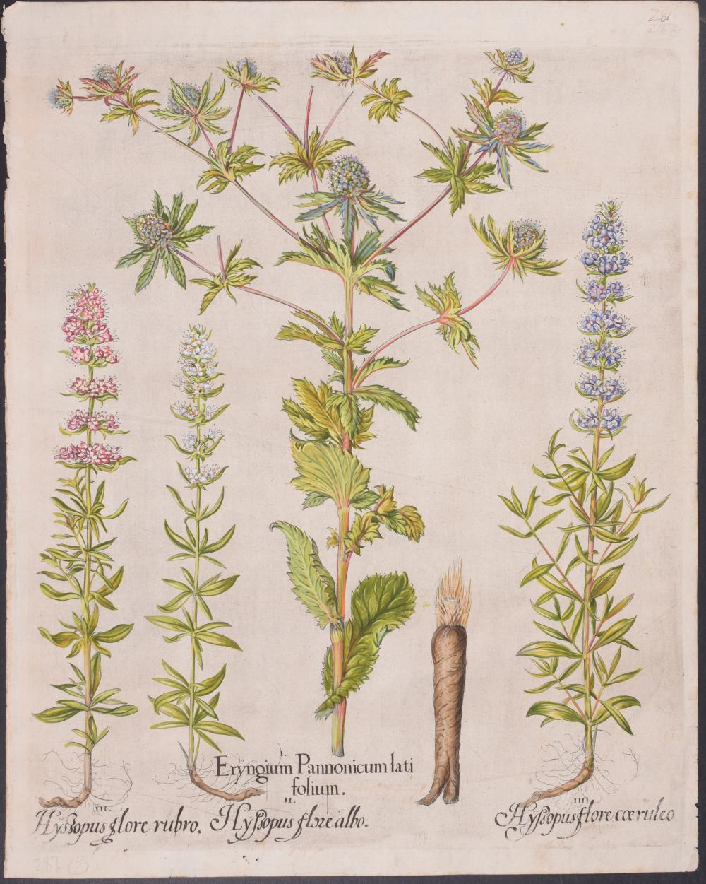Lot 11172: Besler - Sea Holly, Hyssop