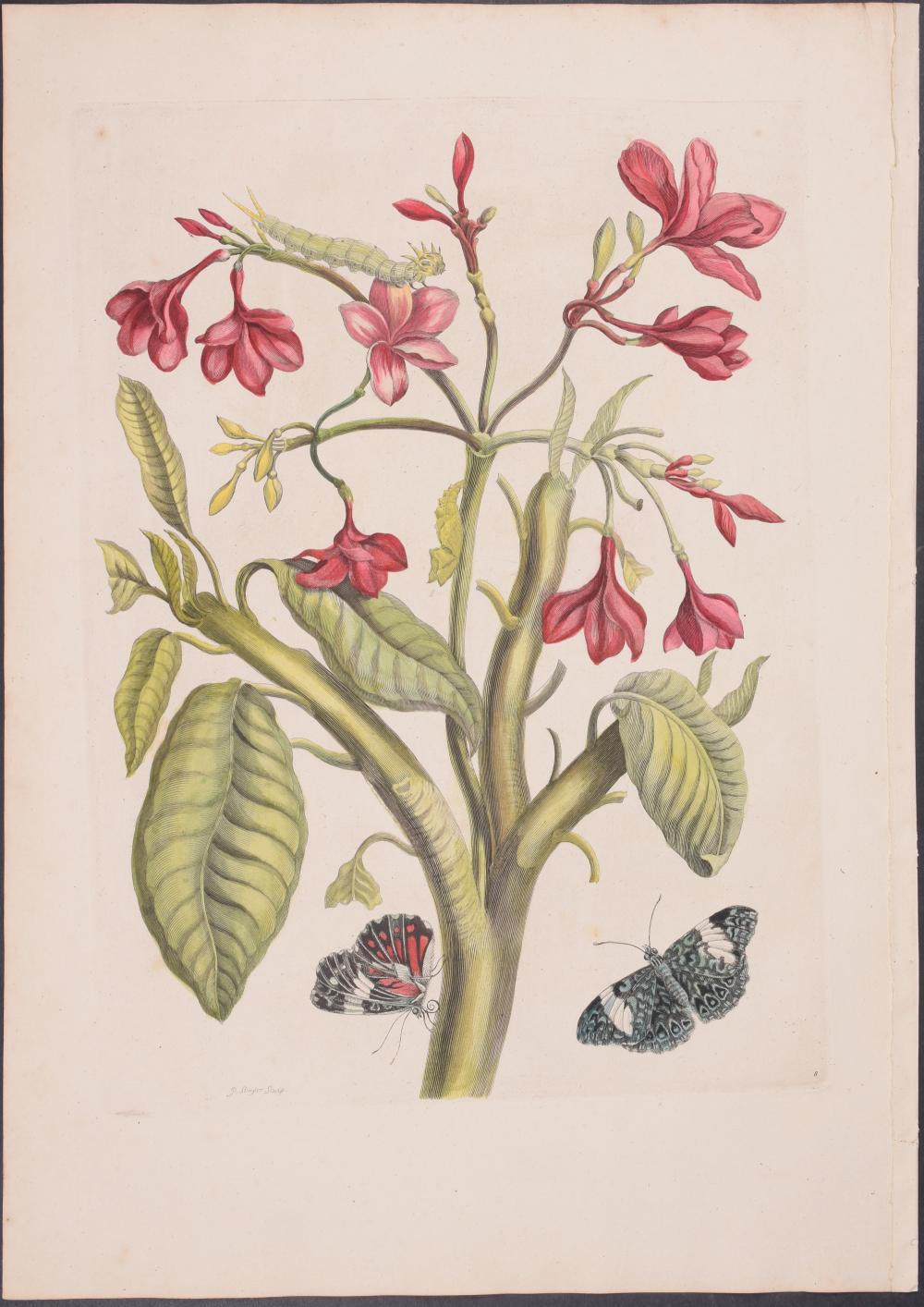 Lot 11189: Merian, Folio - Butterfly Metamorphosis. 8