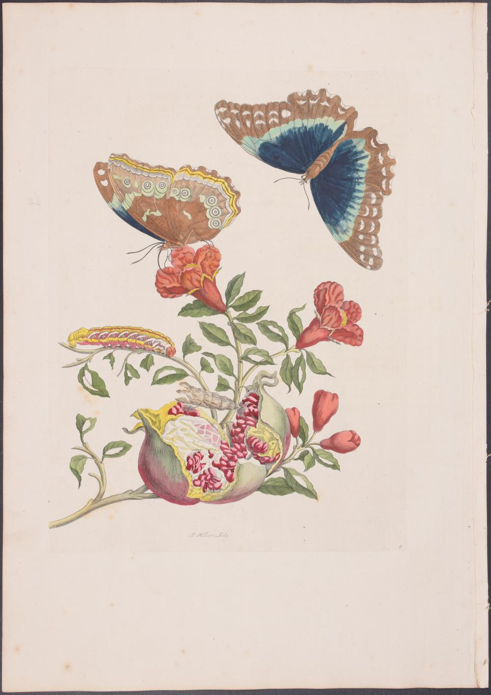 Lot 11190: Merian, Folio - Pomegranate & Butterfly Metamorphosis. 9