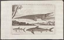Salmon - A Young Alligator, Cat Fish, Shark