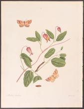 Abbot - Great Hook-Tip Looper Moth. 101