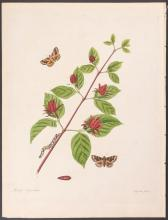 Abbot - Brown and White-Margined Moth. 104