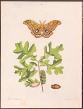 Abbot - Peacock Emperor Moth. 47