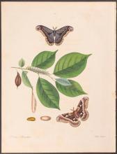 Abbot - Smaller Dark-Brown Emperor Moth. 46