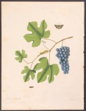 Abbot - Yellow-spotted Tyger Hawk-Moth with Grapes. 44
