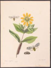 Abbot - Great Leopard Ermine Moth. 69