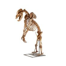 FULLY ARTICULATED CAVE BEAR SKELETON LATE PLEISTOCENE 126,000-11,700 BP 208cm high