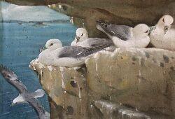 ALLEN WILLIAM SEABY FULMER PETRELS, NESTING TIME, FARNES 40cm x 58cm