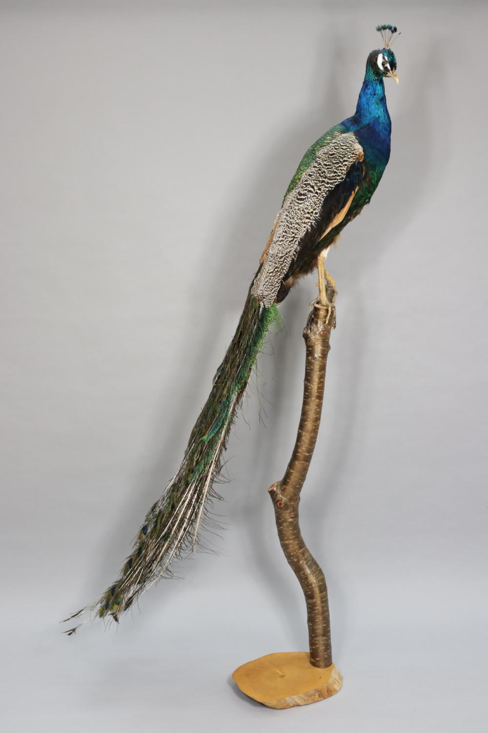 Impressive taxidermy Peacock on natural wood stand, originally purchased from Becker Minty Woollahra over 10 years ago, approx 174cm H including stand