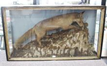 Antique Cedar display case, with Taxidermied fox & rabbits, on naturalistic ground, possibly Australian, approx 115cm L x 68cm H