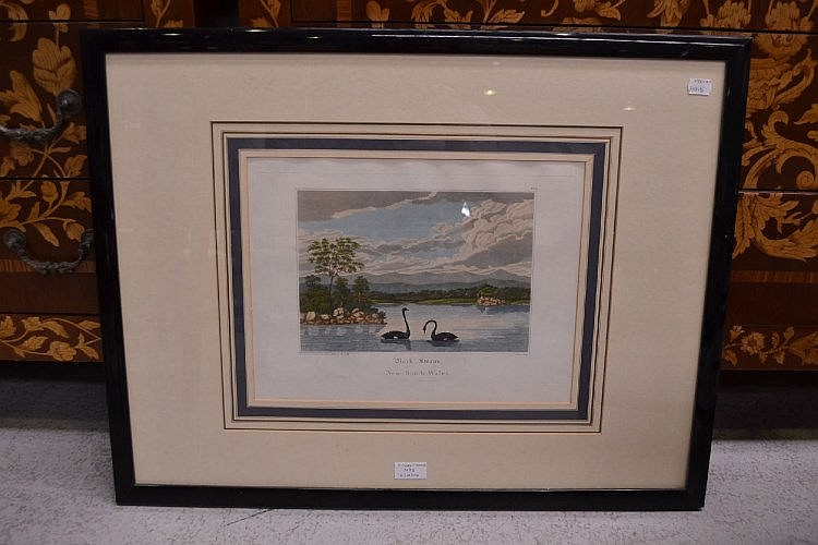 Framed engraving, 'Black Swans of New South