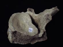 Prehistoric Mammoth Vertebrea