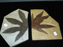 Fossil Pair of Leaves