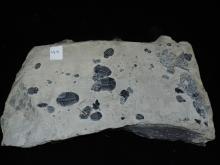 Fossil trilobite Plate - Elratahia Kingii
