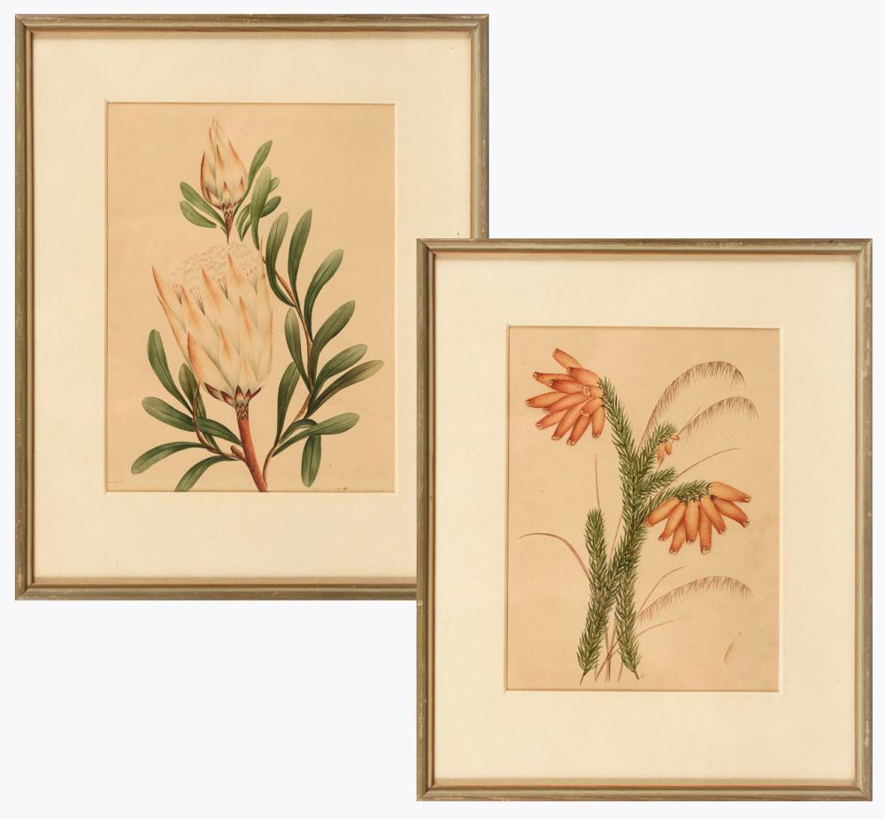 2 Studien südafrikanischer Pflanzen.