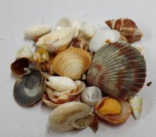 MIXED LOT OF SEA SHELLS GREAT FOR JEWELRY MAKERS, CRAFTING AND ARTWORK