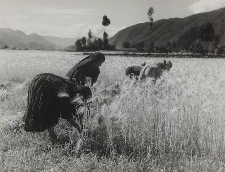 Ernte / Harvest in Tinta bei / near Cuzco