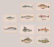 Jonathan Couch Lithographs [Fish]