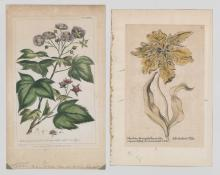 Two Antique Botanical Prints J. Miller and Tulip
