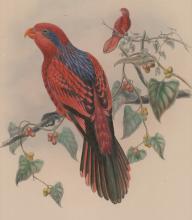 An Antique Bird print by Hart & Walter